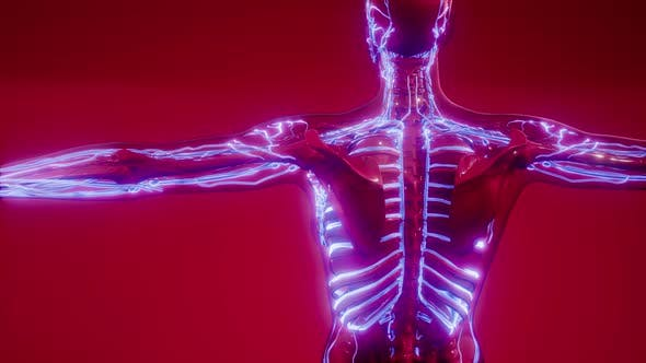 Blood Vessels of Human Body