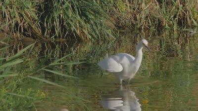 Snowy Egret Bird Walking in River Tracking Shot