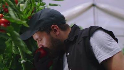 Bearded Farmer Smelling Ripe Tomato