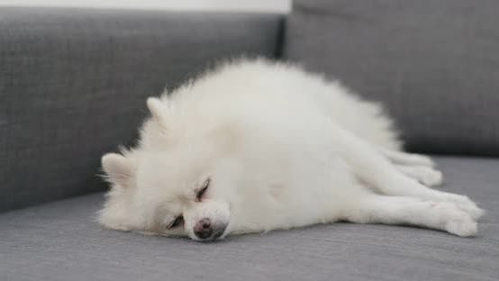 Thumbnail for Pomeranian dog feel tired and sleep on sofa