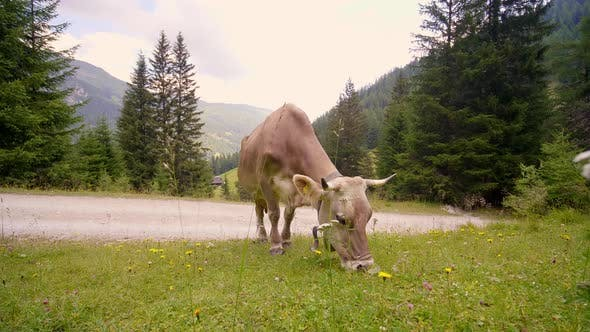 Thumbnail for Cow Eating Grass on the Roadside