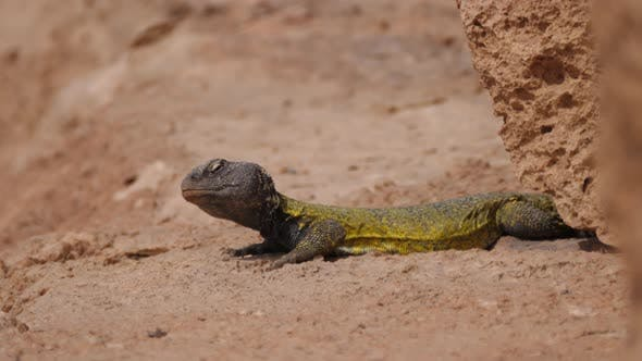 Thumbnail for Moroccan Spiny-tailed lizard
