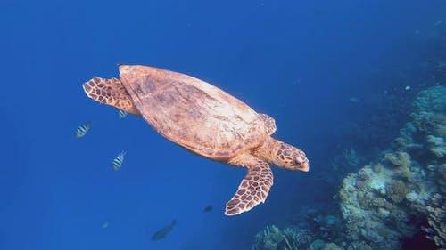 cute green sea turtle (Chelonia mydas)