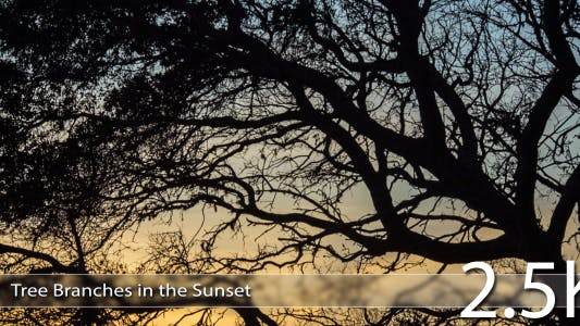 Thumbnail for Tree Branches In The Sunset