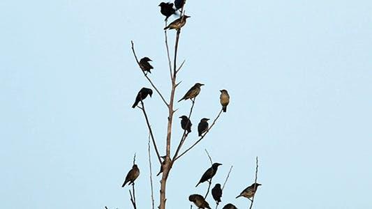 Thumbnail for Asian Glossy Starling (Aplonis panayensis)
