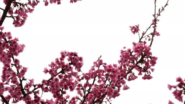 Thumbnail for Cherry Blossom Background