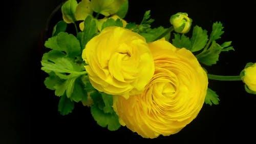 yellow flower growing, persian buttercup