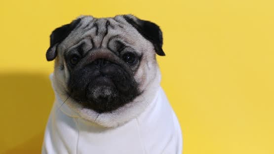 adorable dog pug breed making angry face and serious face on yellow background