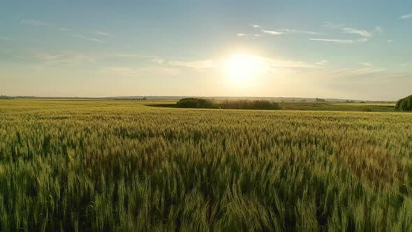 Thumbnail for Flying Over Wheat Field at Sunset