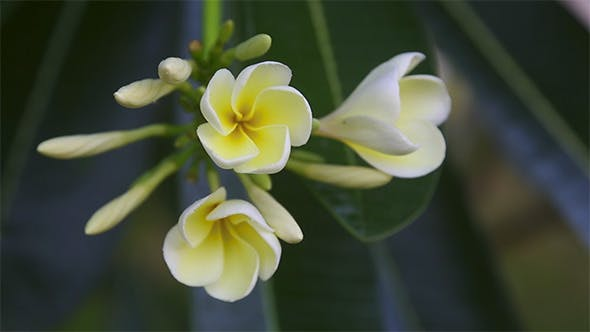 Cover Image for Plumeria