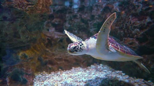 Green sea turtle Chelonia mydas, also known as the green turtle