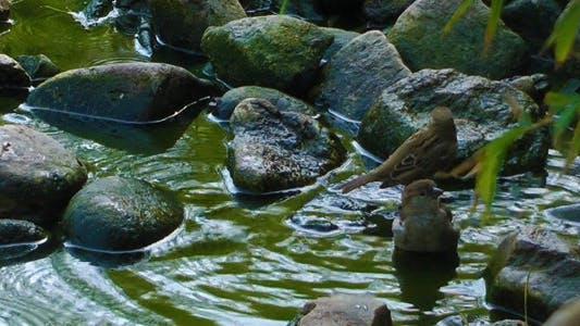Moineau ayant bain
