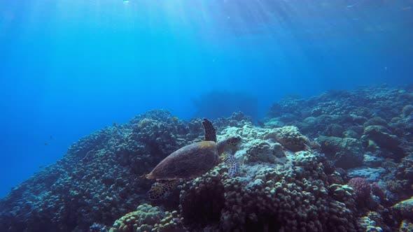 Thumbnail for Turtle Underwater Sun Rays