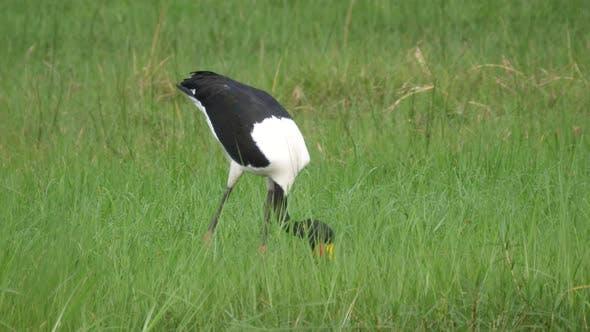 Saddle-billed stork hunting for fish on the wetlands