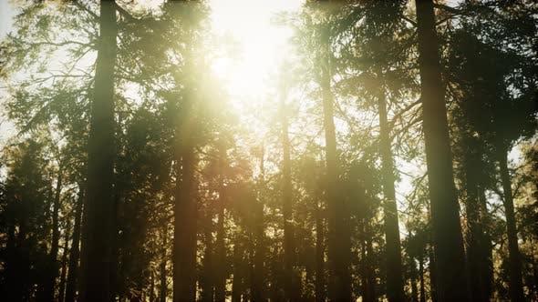 Hyperlapse in Sequoia Forest From Sunrise