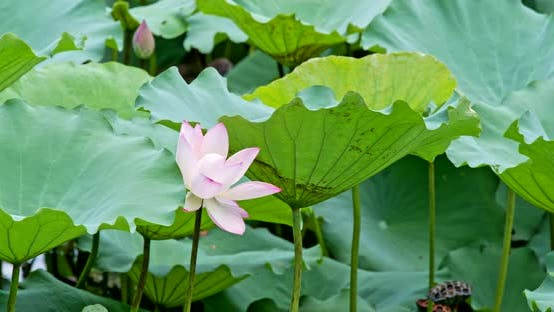 Thumbnail for Beautiful Lotus flower pond