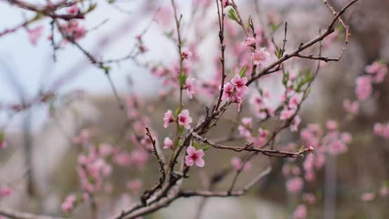 Spring blooming apricot. beautiful white flowers on a branch. Spring blossom background video