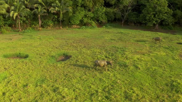 Thumbnail for Tropical Countryside with Green Forest, Field and Buffalo. Carabao Bull in Sunny Landscape. Asian