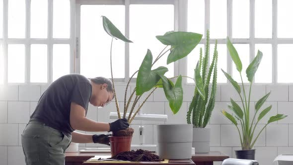 Young Woman Plant Alocasia Zebrina in a Pot in Sunny Loft Studio. Plant Store Owner at Work