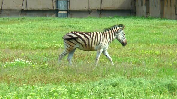 Thumbnail for Zebra Grazing in the Steppe Near the Farm