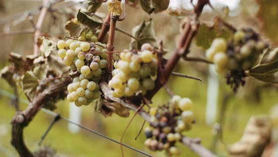 Thumbnail for Ripe Grapes Vineyard Autumn, Wine Production