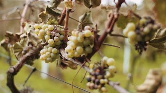 Thumbnail for Reife Trauben Weinberg Herbst, Weinproduktion