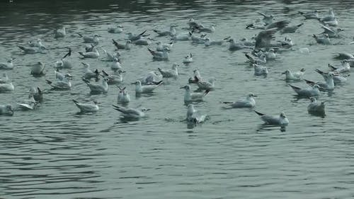Sea Birds Swimming
