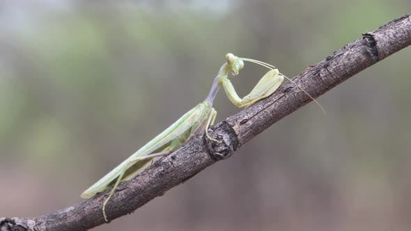 Thumbnail for Praying mantis on a tree branch