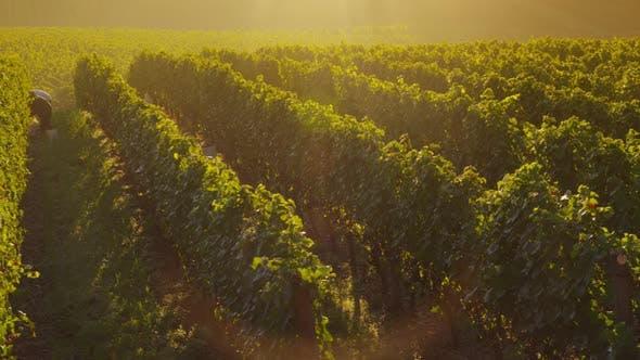 Beautiful vineyard at sunrise, Oregon. Shot on RED EPIC for high quality 4K, UHD, Ultra HD resolutio
