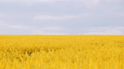 Panning Shot of Blooming Rapeseed Field Agriculture