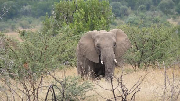Thumbnail for Big elephant in Pilanesberg Game Reserve