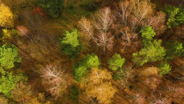 Thumbnail for Autumn Forest Aerial Drone View. Deciduous Forest in the Fall.