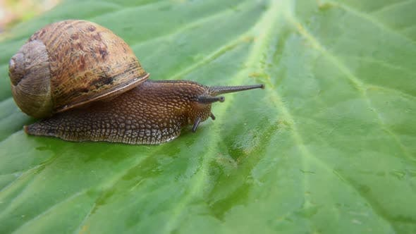Thumbnail for Snail on green leaf