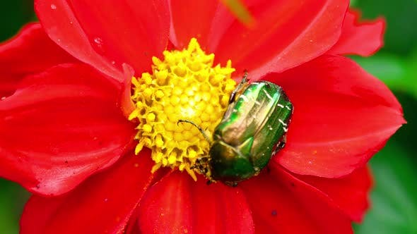 Thumbnail for Cetonia Aurata on the Red Dahlia Flower