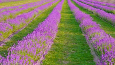 Cultivation Field of Purple Lavender and Green Grass
