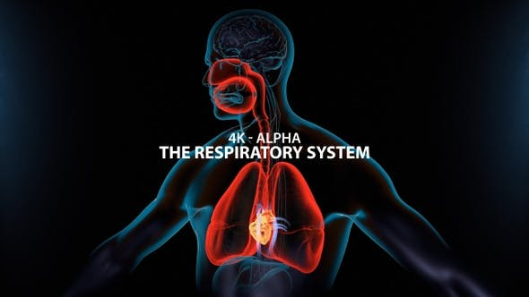 Thumbnail for The Respiratory System 4K