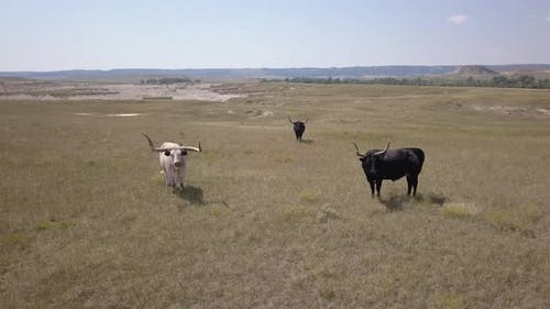 Aerial Drone Circling Longhorn Cattle Bulls Standing in Great Plains in Summer