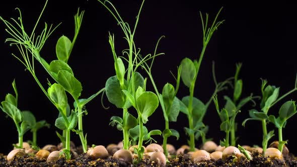 Thumbnail for Peas Beans Germination on Black Background