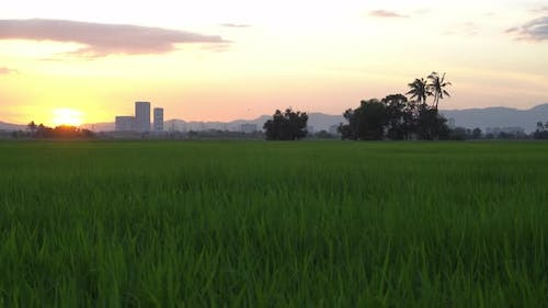 Green paddy field with background trees in evening