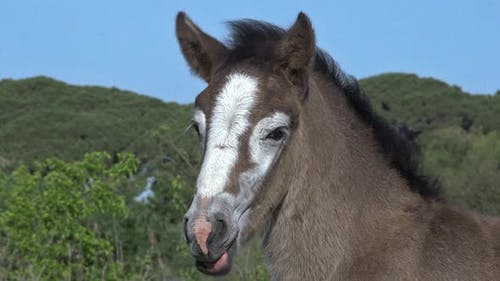 750539 Camargue Horse, Portrait of Foal, Saintes Marie de la Mer in The South of France, Real Time