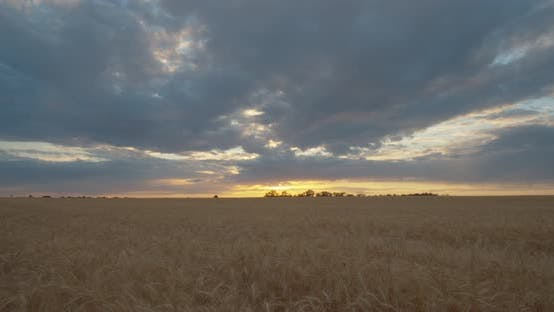 Thumbnail for Sunset on the wheat field