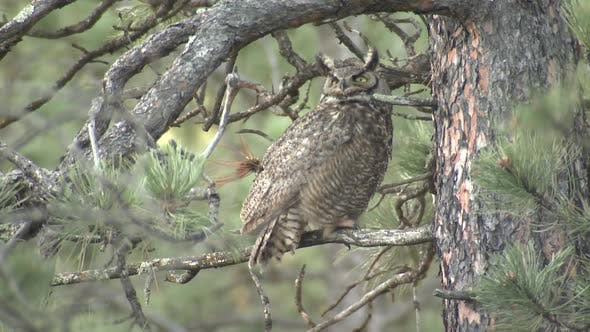 Thumbnail for Great Horned Owl Bird Aggressive Intolerance with Crow Harassing