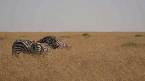 Zebras with colt in dry grass
