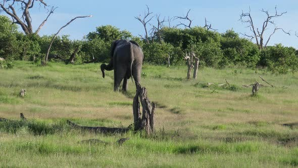 Bull elephant peeing and pooping