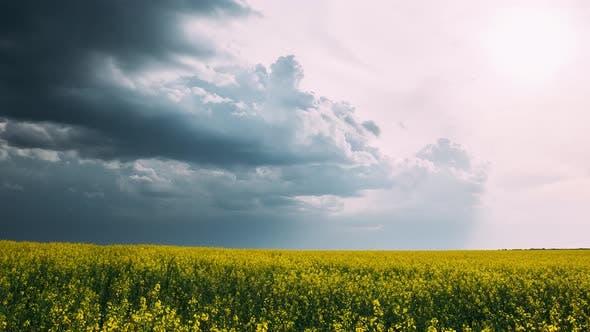 Agricultural Landscape With Flowering Blooming Rapeseed, Oilseed In Field Meadow In Spring Season