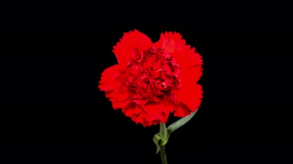 Beautiful Time Lapse of Opening Carnation Flower