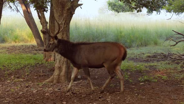 Thumbnail for Sambar Rusa Unicolor Is a Large Deer Native To the Indian Subcontinent, South China