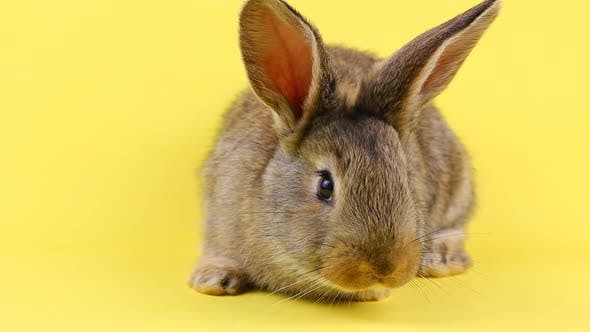 a Curious Calm Fluffy Brown Rabbit Sits on a Yellow Bed Background in a Curtain Plan