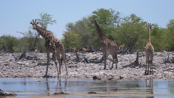 Herd of giraffe around a pond
