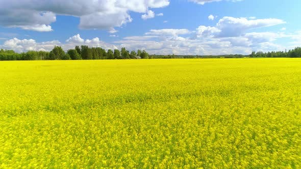 Thumbnail for Bright Yellow Rapeseed Agriculture Field Aerial Shot